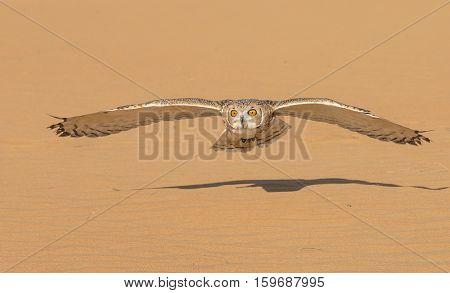 Desert tawny owl (strix hadorami) flying in a desert near Dubai