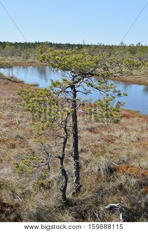 Beautiful pine tree growing near swamp waters.