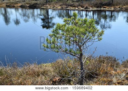 Pine tree growing near waters in a swamp.