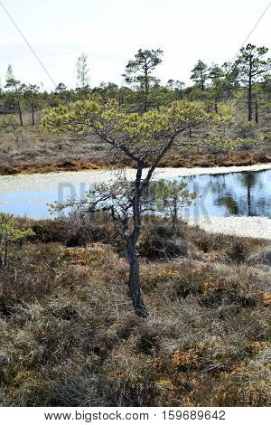 Pine tree growing in a swamp at springtime.