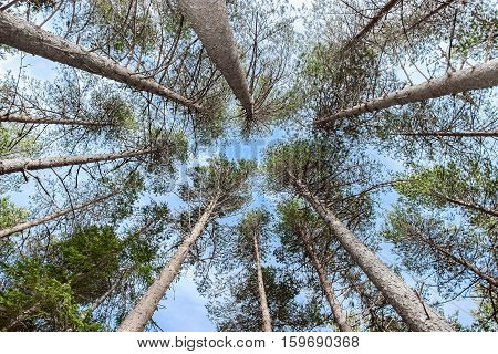 look up of pinetrees in blue sky