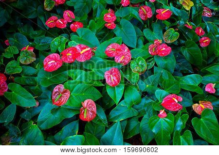 Red and pink anthurium flower also known as tail flower flamingo flower and laceleaf in dark tone.