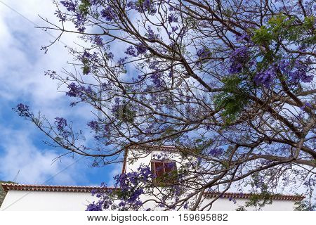Beautiful purple Jacaranda tree in park, closeup Jacaranda mimosifolia