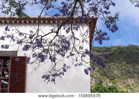 Beautiful purple Jacaranda tree in park, closeup Jacaranda mimosifolia