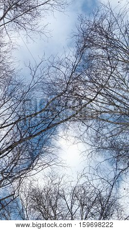 Poplar forest and beautiful, winter sky. The branches of the trees. Forest landscape. Winter landscape. The tree background.