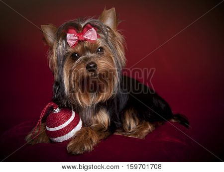 A cute Yorkshire terrier with Christmas ornament on a red background and pillow