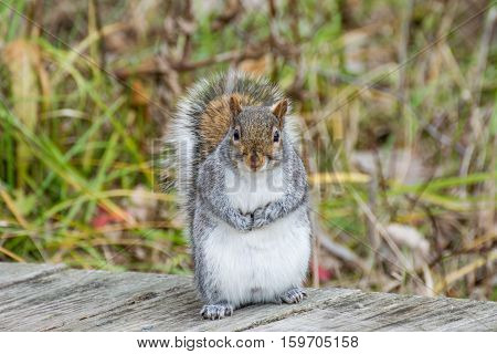 A grey squirrel perched on a wooden walkway.