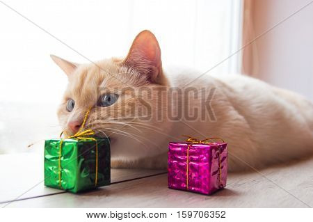 white funny playful young cat playing with Christmas toys