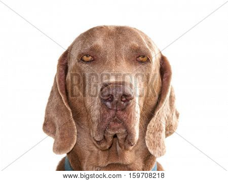 Weimaraner dog looking straight at the viewer, with a serious expression, isolated on white