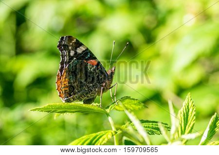 Black orange spotted butterfly on the green leaf in the forest in summer, in the province of Girona, Alp, La Molina, Catalonia, Spain