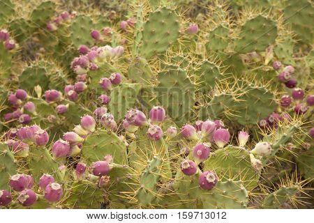 Flora Of Gran Canaria - Opuntia Stricta