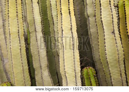 Background Of Euphorbia Canariensis