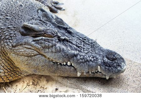 Close up of giant crocodile showing teeth with room for your type.
