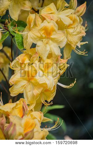 Yellow-flowered azalea called Rhododendron occidentale  in spring garden.
