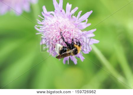 close up of humble bee on pink flower
