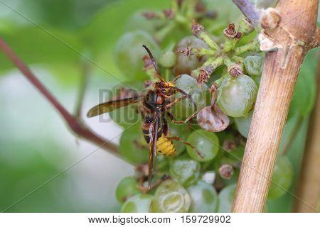 Wasp / Wasp eating green grapes .