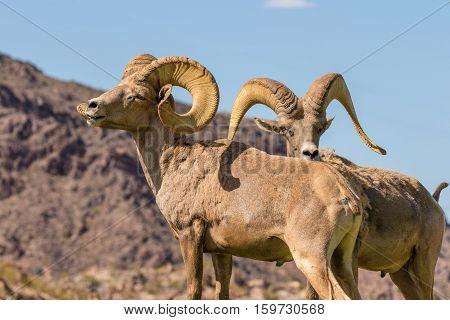 a pair of nice desert bighorn sheep rams