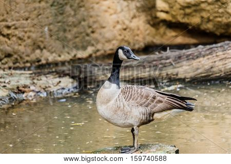 wild geese in the pound in forest