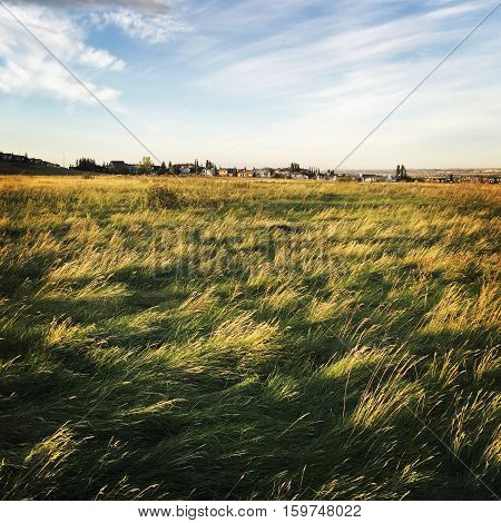 Prairie grass field in spring at sunset with trees, buildings, blue sky and white clouds background. Shadows on grass in foreground.  Bright prairie sky and wheat grass in field.