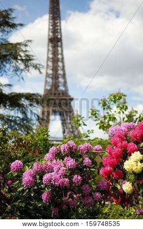 Spring In Paris. Blossoming Pink And Magenta Azaleas And The Eiffel Tower. Focus On Flowers