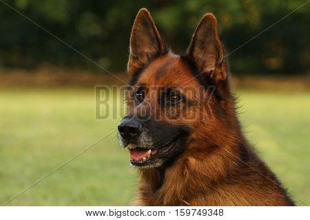 domestic canine dog animal pet on green grass