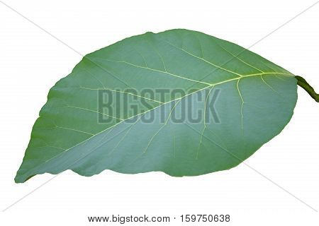green teak leaf isolated on white background