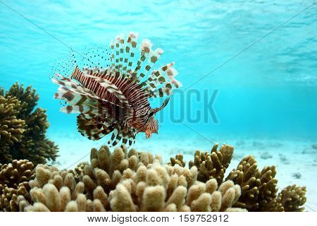 Lionfish or scorpions fish swimming near coral reef in clear tropical waters in front of Mataking island Malaysia