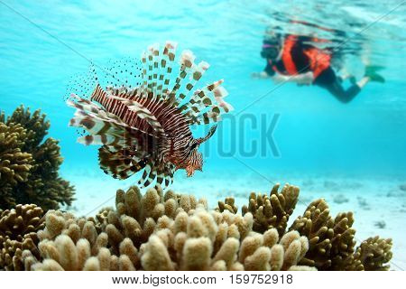 Lionfish or scorpions fish swimming near coral reef in clear tropical waters in front of out of focus old Asian woman diver indo-pacific ocean.