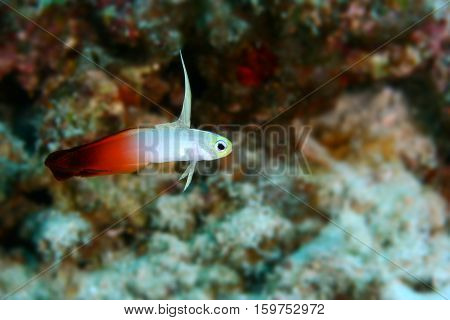 Fire Dartfish ( Nemateleotris magnifica ) fire goby fire fish or red Fire goby is a species of dartfish Malaysia Indo pacific ocean. Copy space