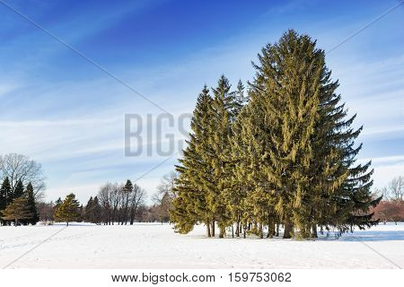 Snow covered park in Montreal, with copse of fir trees. , copse,