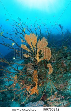 Damaged sea fan sits atop the coral reef with blue water and sunlight Similan national park North Andaman Thailand global warming.
