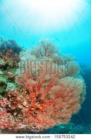 Gorgonian sea fan on coral reef in clear underwater world with sun rays Similan national park North Andaman Thailand
