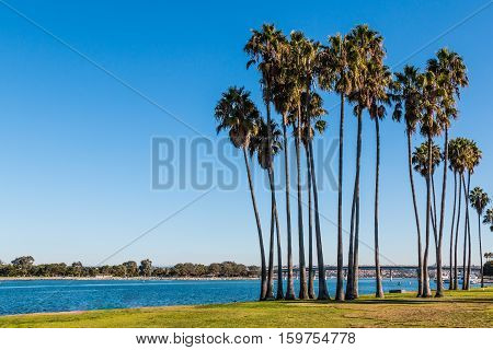 Washingtonia robusta palm trees at Sunset Point Park on Mission Bay in San Diego, California.