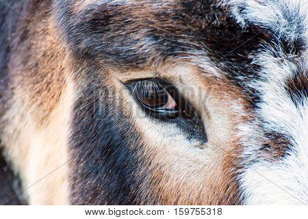 The big Eye of the Donkey Animal