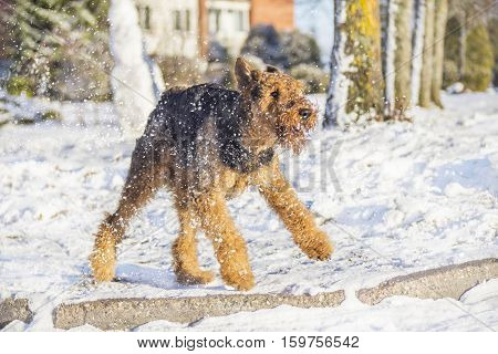 Airedale Terrier playing and running on a snow in a sunny winter day