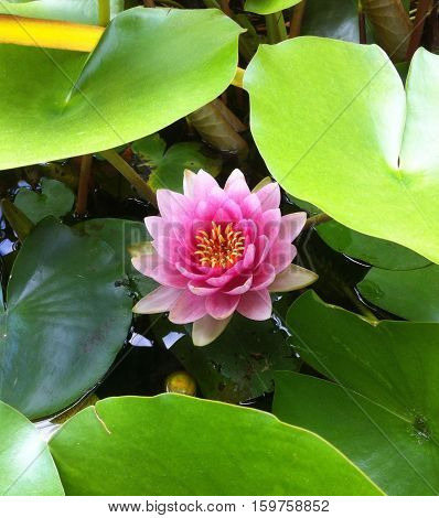 Pink water lily in full bloom in waterscape.