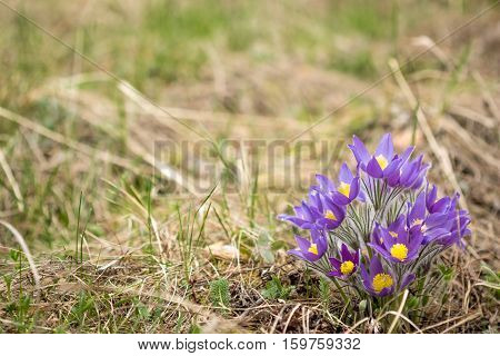 A view of the beautiful forest flower Pasque-flower(Pulsatilla vulgaris)