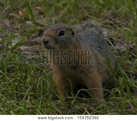 The gopher has stood waiting for food against the background of a grass