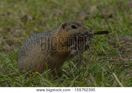 The little gopher eats the found food against the background of a green grass