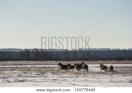 The coachman on the sled across the field driving horses