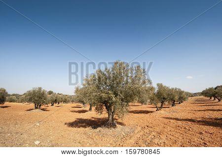 Olive groves in Brea de Tajo, Madrid, Spain poster