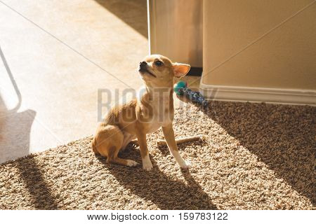 Cute chihuahua puppy looking up innocently while sitting on carpet in sunlight.