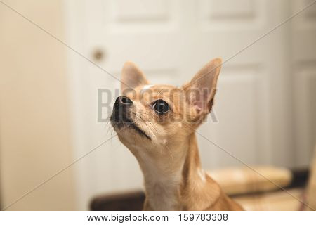 Close up of cute, young chihuahua puppy. Merle or fawn color. Indoor modern home setting.