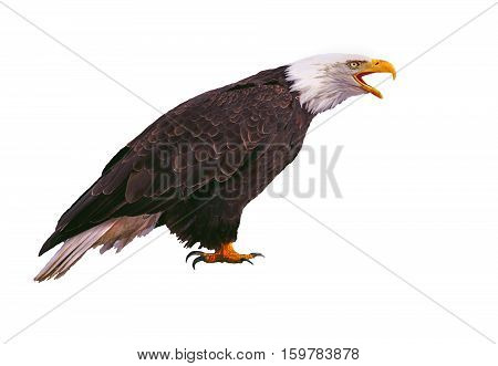 Bald Eagle calling portrait on white background