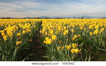 Field Of Yellow Daffodils