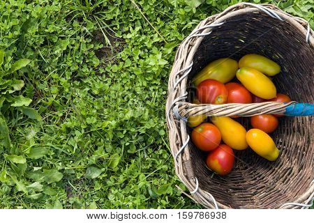 Top view on vintage basket with colorful organic tomatoes inside it. Autumn harvest. Gardening and farming. Healthy food concept
