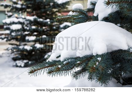 Blue spruce branch with snow. Winter snowy Park with trees. Paw branches of green spruce snow-covered.