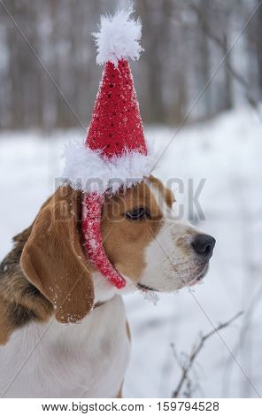 Dog Beagle on a walk in winter in a red Christmas cap