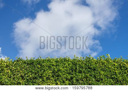 Green leave wall over blue sky with cloud