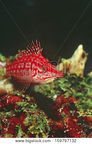 Longnose hawkfish, close-up